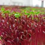 Microgreens - Röd / Red Amaranth
