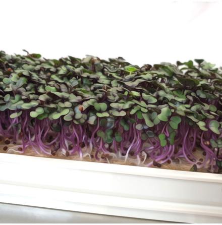 Microgreens - Rödkål / Red Cabbage