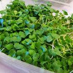 """Microgreens - Broccoli """"Raab"""""""